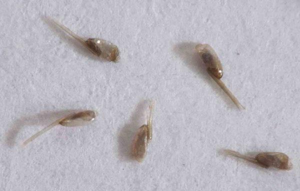 Сухие гниды, как отличить живую гниду от мертвой?