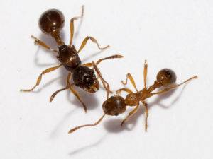 Отрастают ли конечности у муравьев. муравьи и их лапки