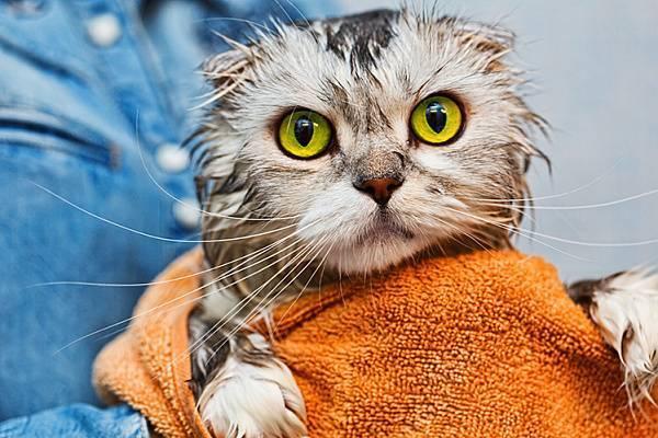 Чем вывести блох у кошки в домашних условиях