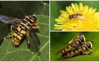 Чем опасна муха-журчалка для огорода