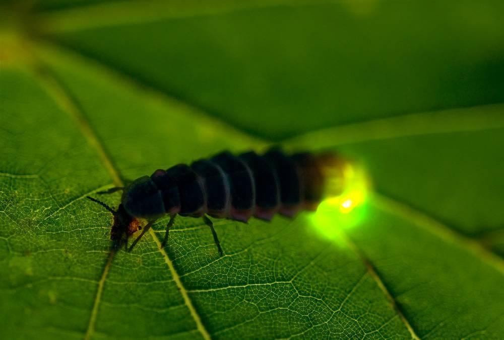 Насекомое светлячок — чем питается, где живет и из-за чего светится?