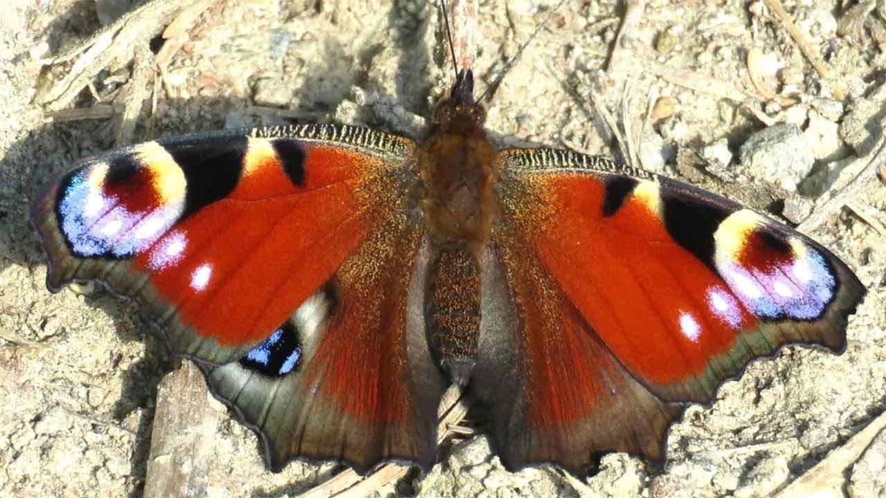 Бабочка ночной павлиний глаз или павлиноглазка грушевая