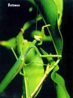 Кто такой богомол. богомол обыкновенный – живая ловушка для насекомых богомолы крыма виды
