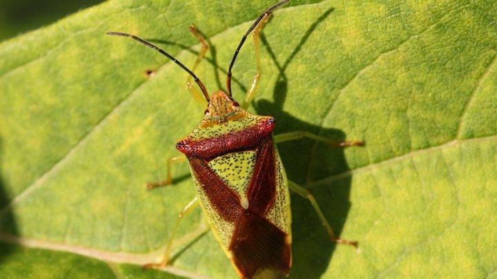 Садовые клопы – опасные вредители в вашем саду