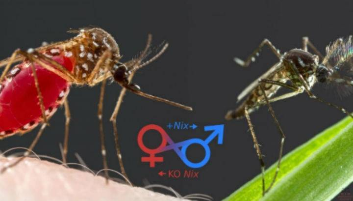 Чем отличаются комары от москитов