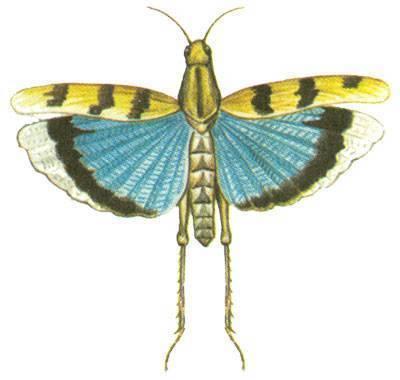 Саранча описание. кобылка голубокрылая – мастер маскировки среди саранчовых