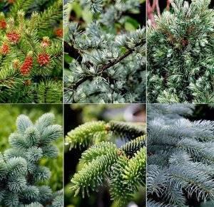 Меры защиты хвойных растений от болезней и вредителей