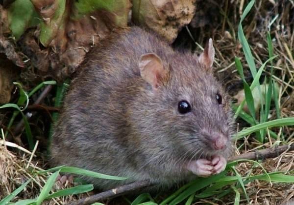 Как бороться с водяной крысой на огороде: описание вредителя и 3 вида борьбы с ним