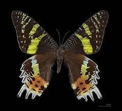 Желтушка луговая. бабочка желтушка луговая – любительница клевера и люцерны. особенности размножения и развития