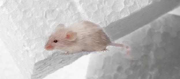 Едят ли мыши экструдированный пенополистирол