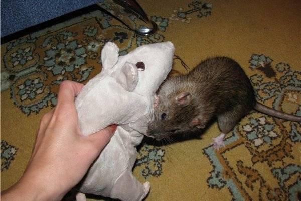 Укусы мышей: чем они опасны, симптомы развития заболеваний и меры их профилактики. что делать, если ребёнка укусила дикая мышка?