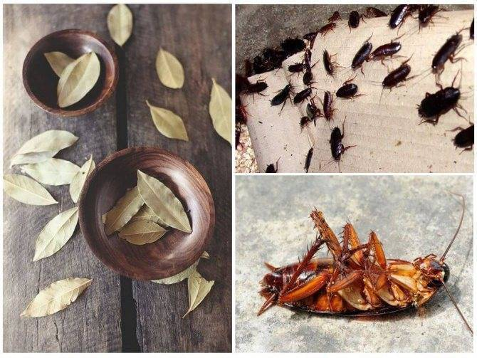 Как использовать лавровый лист от тараканов?