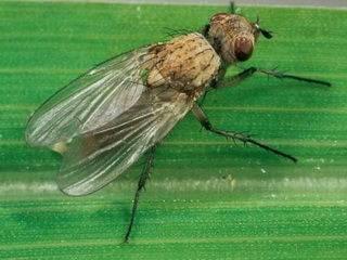 Как  быстро избавиться от луковой мухи на луке