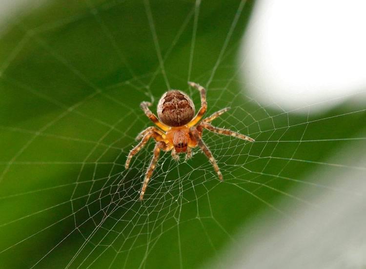 Где обитает паук-крестовик. паук-крестовик — описание, строение и характеристика паук крестовик размножение
