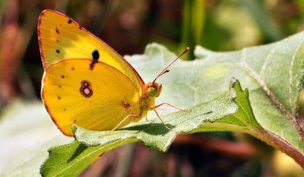 Бабочка желтушка — описание, среда обитания, виды. желтушка тизо желтушка луговая