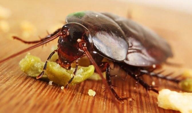 Фипронил от тараканов: описание активного вещества и отзывы о препаратах