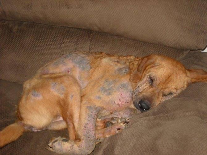 Ушной клещ у собаки (отодектоз): диагностика, cимптомы и лечение