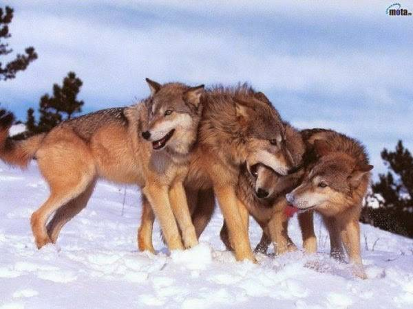Паук волк картинки