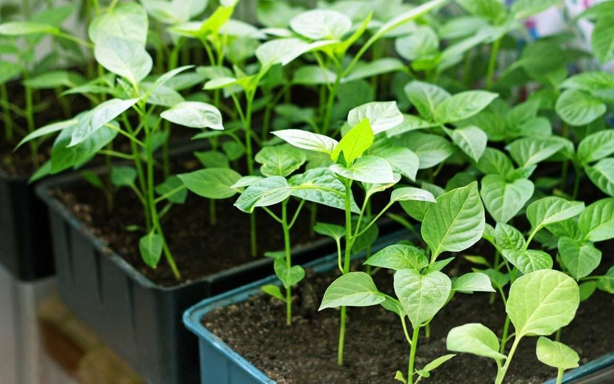 Какие народные средства эффективны в борьбе с тлей на рассаде перца