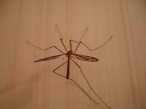 Что делает комар после укуса. как кусается малярийный комар: фото, симптомы и последствия. лечение и профилактика