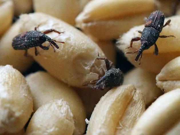 Десять самых опасных вредителей хлебных запасов