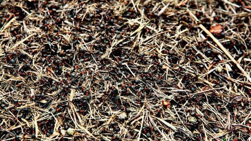 Муравьи польза и вред в огороде и на участке