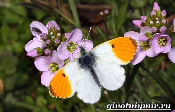 Бабочка-лимонница доклад сообщение