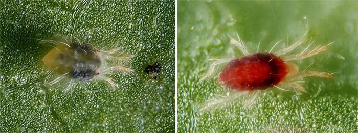 5 сортов огурца устойчивых к паутинному клещу – эффективные методы борьбы на открытом грунте, отзывы огородников и агрономов