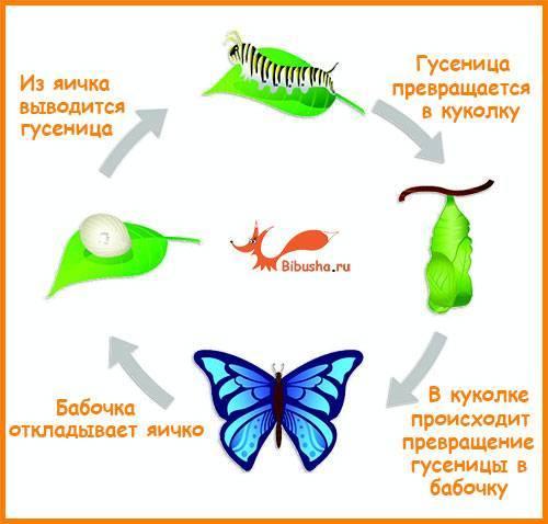 Превращение гусеницы в бабочку