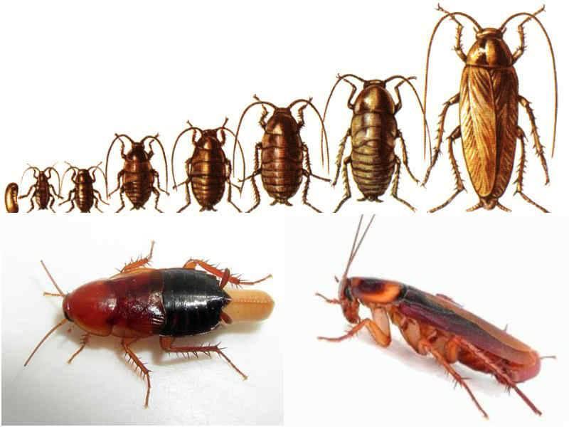 Как быстро размножаются тараканы: яйцо, нимфа, имаго. сколько новых насекомых появляется за раз: сроки заполнения в квартире?