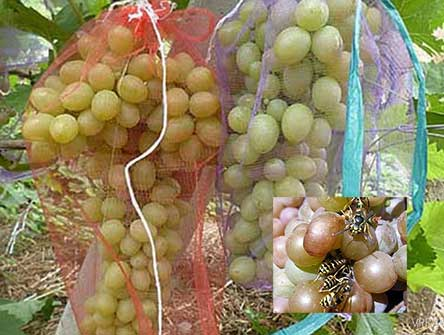 Защита винограда от ос и птиц