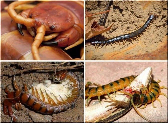 Опасны ли сколопендры (многоножки) в крыму
