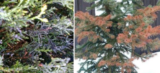 Методы борьбы с тлей на плодовых деревьях: действенные средства