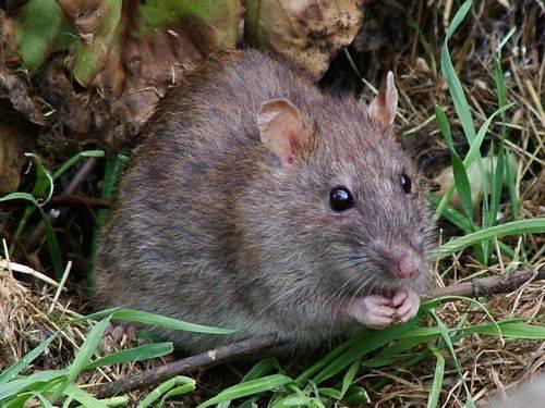 Как поймать крысу в доме