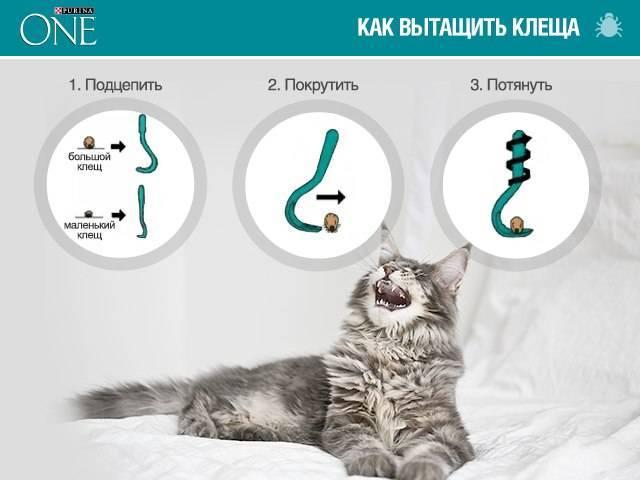 Симптомы чесоточного клеща у кошек и его лечение