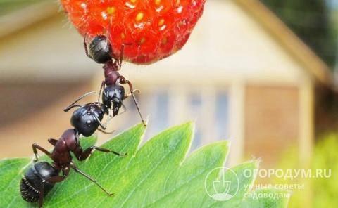 Как избавиться от муравейника –проверенные способы