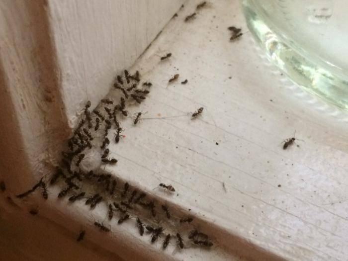 Как можно избавиться от фараоновых муравьев навсегда