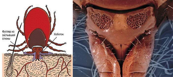 Водяные клещи: где обитают и как выглядят. водяной клещ: опасен ли он для человека и в чём заключается его вред уход в период лечения