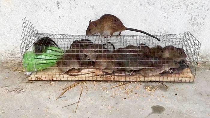 Уничтожение крыс в спб. борьба с крысами