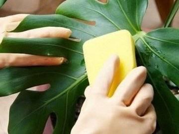 Как бороться с мучнистым червецом на садовых и домашних растениях?