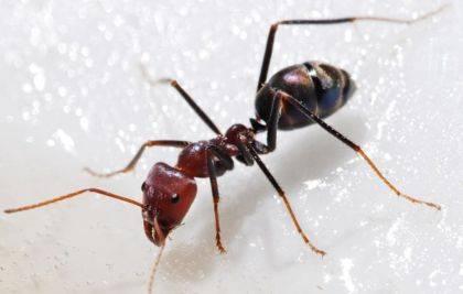 Строение муравья: сколько лап у насекомого? сколько лапок у муравья и паука. сколько ног у муравья