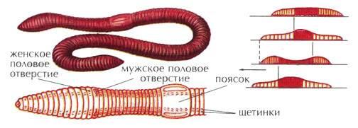 Особенности строения дождевого червя, егозначение вприроде