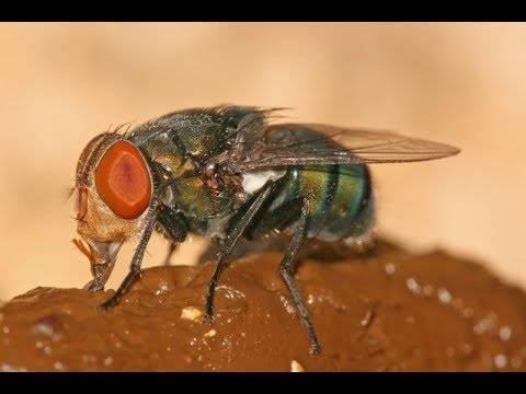 Мясная муха: описание, личинки, срок жизни. что будет, если съесть яйца или личинки мухи что будет, если съесть яйца