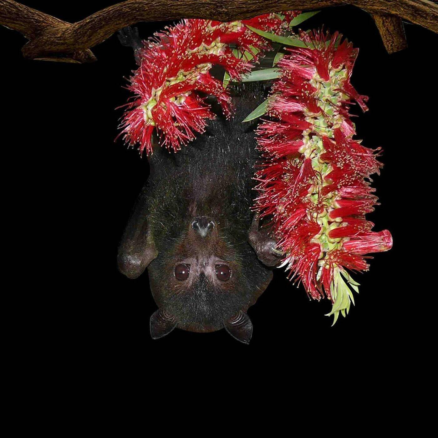 Летучая мышь – полезный вампир