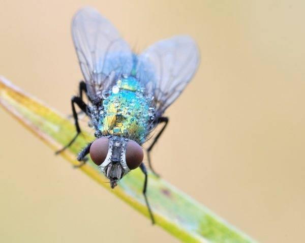 Сколько глаз у обыкновенной мухи? как видит муха? подробно о данном вопросе одна пара сложных фасеточных глаз