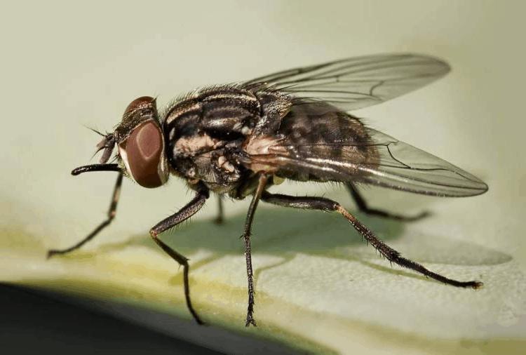 Какие мухи кусаются и почему? описание и фото укусов мух