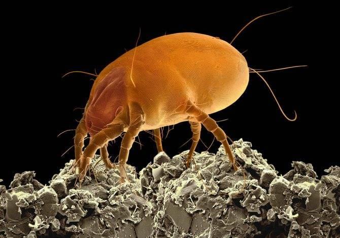 Пылевые клещи: где живут, чем питаются и чем опасны для здоровья. как избавиться от пылевых клещей: средства и методы борьбы