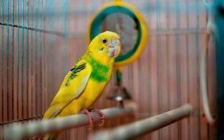 Клещ у попугая: симптомы и лечение чесоточного мазью
