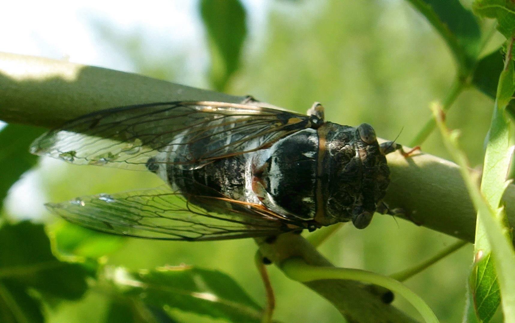 Описание разновидностей цикад: певчая цикада, цикадка белая и японская, где живут, внешний вид, фото и видео