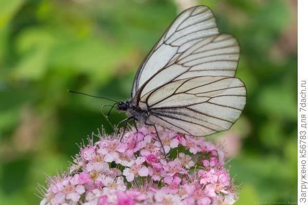 Бабочка зорька — описание, среда обитания, виды